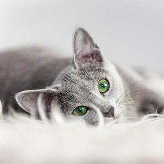 Pet Friendly Apartments Stone Oakcat_gray